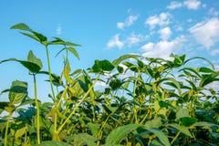 Tige de jeune soja croissant contre le ciel bleu Photos stock