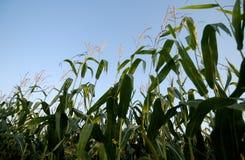 Tige de maïs Image stock