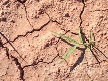 Tige de maïs dans le sol ferrique rouge sec sans humidité et éléments nutritifs photos libres de droits
