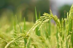 Tige de riz Images stock