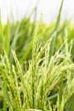 Tige de riz non-décortiqué Image libre de droits