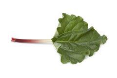 Tige et lame fraîches de rhubarbe Photographie stock