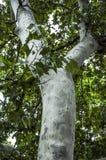 Tige et texture d'arbre plat Lissez avec des morceaux d'écorce boisée photographie stock