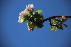 tige Fleurs blanches roses de floraison fleurissantes de pommes photo stock