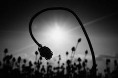 Tige pliée de clou de girofle Champ de soirée des têtes de pavot Les fleurs sèches attendent la moisson Images stock