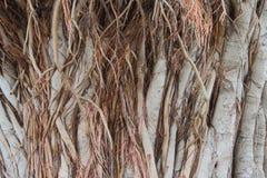 Tige principale du banian Photos stock