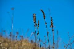 Tige sèche d'herbe Photos libres de droits