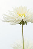 Tige simple de fleur blanche artistique de dahlia Photo stock