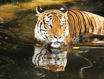 Tiger 02 Stockbild