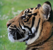 Tiger. Profile portrait of a beautiful tiger head in close-up Stock Photography