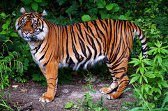 Tiger. A tiger stands at the water and looks to the photografer Stock Image