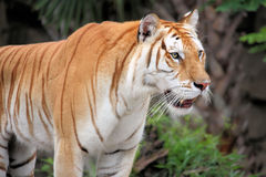 Tiger. Staring into the distance Royalty Free Stock Photo