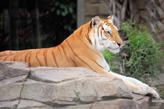 Tiger. Laying on a rock Royalty Free Stock Photos
