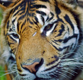 Tiger Royalty Free Stock Photo