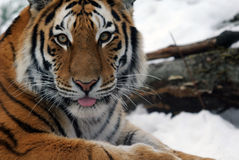 Tiger. Close-up picture of a Siberian Tiger on a cold Winter day Stock Image