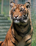 Tiger. Portrait of a beautiful young tiger royalty free stock photo