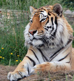 Tiger. Portrait of a beautiful fully grown male tiger laying on the grass stock images