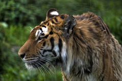 Tiger. A tiger on the field Royalty Free Stock Photography