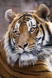 Tiger. Close-up portrait of a Tiger, Panthera tigris Royalty Free Stock Image