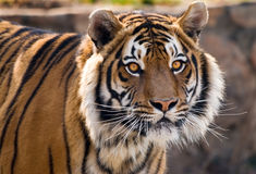 Tiger. Close-up portrait of a Tiger, Panthera tigris Royalty Free Stock Photography