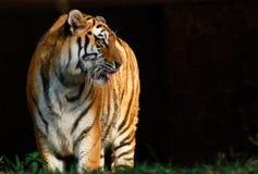 Tiger. A tiger at the Zoo Stock Image