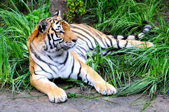 Tiger. Beautiful Siberian tiger lying on the ground in the wild Stock Photography
