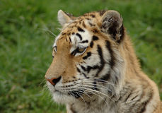 Tiger. A beautiful wild Tiger head portrait with alert expression in the face watching other animals in a game park outdoors while resting Royalty Free Stock Images