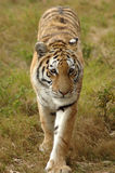 Tiger. A full body of a beautiful wild Tiger with alert expression in the face walking in a game park outdoors Stock Photo
