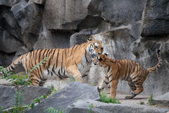 Tiger. Two tigers are fighting Royalty Free Stock Images