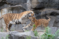 Tiger. Two tigers are fighting Royalty Free Stock Photography