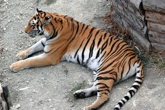 Tiger. Ussuri tiger, resting on the ground royalty free stock image