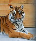 Tiger. The average plan of a muzzle of a tiger Royalty Free Stock Images