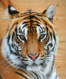 Tiger. Close up of a muzzle of a tiger Royalty Free Stock Photos