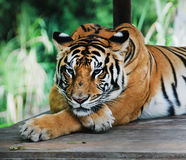 Tiger. Portrait of the tiger both paws has crisscrossed Royalty Free Stock Photography