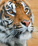 Tiger. Close up of a tiger Royalty Free Stock Photography