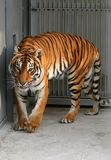 Tiger. In a cage to the utmost Stock Photo