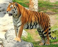 Tiger. Standing on a rock looking peacful Royalty Free Stock Image