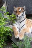 Tiger. Nice portrait of male tiger Stock Images
