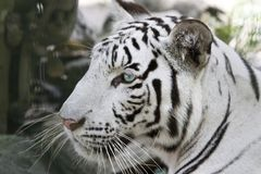 The tiger Stock Images