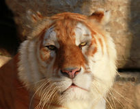 Tiger. A Portrait of a tiger royalty free stock images
