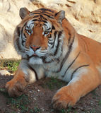 Tiger. A Portrait of a tiger royalty free stock image