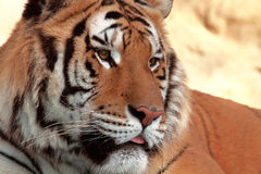 Tiger. A Portrait of a tiger stock images