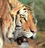 Tiger. A Portrait of a tiger royalty free stock photo