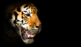 Tiger. Head of a tiger on a black background. symbol of the Chinese New Year Stock Photography
