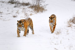 Tiger. The cold winter, two Siberian tiger walking and was lying in the snow Royalty Free Stock Image