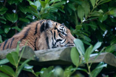 Tiger. A tiger resting in the shade Royalty Free Stock Photography