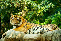 Tiger. Gorgeous Tiger laying on rock Stock Photography