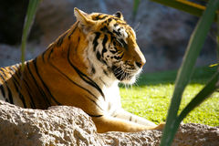 Tiger. An image of a Tiger closeup in a zoo in Tenerife stock photography