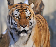 Tiger. A portrait of a tiger Stock Photo