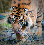 Tiger. A close-up of a tiger Stock Photography
